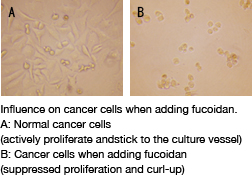 Influence on cancer cells when adding fucoidan.A: Normal cancer cells(actively proliferate andstick to the culture vessel) B: Cancer cells when adding fucoidan(suppressed proliferation and curl-up)