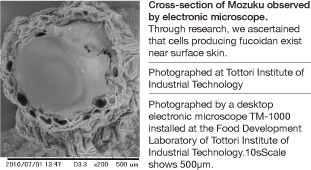 Cross-section of Mozuku observed by electronic microscope.Through research, we ascertained that cells producing fucoidan exist near surface skin.